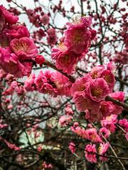 cherry blossom (Mohmed Althani) Tags: travel pink autumn sky flower tree love water beautiful japan cherry photo exposure blossom jp qatar topshots kytoshi flowerwatcher kytofu iphone6 flickrportal