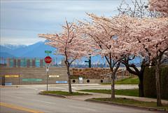 3-Way Cherry Blossoms (Clayton Perry Photoworks) Tags: vancouver bc canada explorebc explorecanada richmond richmondbc terranova trees cherryblossoms pink street sakura