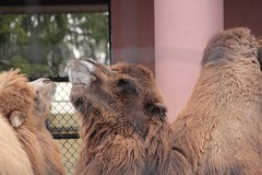 Two Humped Camels 1 (theharv58) Tags: camels torontozoo bactriancamel torontocanada canon60d twohumpedcamels canonef50mmf18iilens canoneos60d canonefs18200mm13556islens