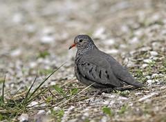 Common Ground Dove (Columbina passerine) - Vero Beach, Florida (JFPescatore) Tags: florida pigeon dove verobeach commongrounddove columbinapasserine
