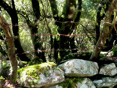 Ikaria's remotest hinterland 50 - the stonewall and fence protecting the valley of Langada (angeloska) Tags: forest fence march ikaria aegean greece barbedwire stonewall pezi hinterland hikingtrails   langada    vrakades  opsikarias