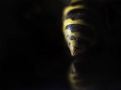 "Week 14 of 52 Theme: ""Chiaroscuro"" The Business End... (sumoetx) Tags: camera macro reflection up yellow bug insect 50mm reflecting utah nikon photographer close wasp howard tube tubes jacket shutter d750 week remote extension f18 dslr weeks stinger chiaroscuro jackman challenge tabletop yellowjacket trigger 52 thorax resident abdomen 2016 zeikos sumoetx"