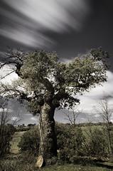 Esperando al tiempo (J. Barrena) Tags: blue trees sky espaa cloud sun tree verde green sol azul arbol flora arboles guadalajara bosque cielo nube holmoak encina pedregal