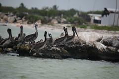 A la orilla (Patricia de Maliav) Tags: naturaleza azul mxico celestn aves temporal mrida reflexiones pelcano efmero