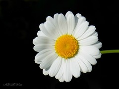 I fall in love with you (NaturewithMar) Tags: flower macro ngc flor daisy nikoncoolpix macromondays l330