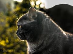 Yodabr (Blochmntig) Tags: cat feline smoke katze gatto britishshorthair blacksmoke cateye catposing bkh katzenportrait britischkurzhaar catmoments catinpose