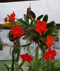 Sophronitis coccinea 4N (cieneguitan) Tags: red flower flora cattleya orkid okid angrek anggerek