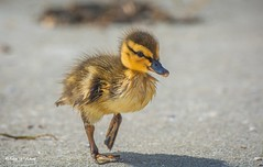 Finally Made to Dryland (   (Thank you, my friends, Adam!) Tags: macro art beauty closeup lens photography nikon gallery photographer florida wildlife ngc fine central duckling telephoto excellent dslr curve