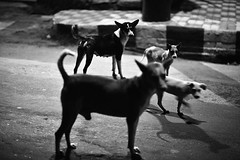 Dog Circus (N A Y E E M) Tags: street family light dogs availablelight earlymorning latenight pack bangladesh carwindow chittagong crbroad