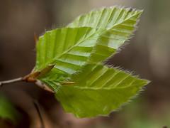 P4210323 (turbok) Tags: pflanze bume buche wildpflanzen buchenbltter laubbume