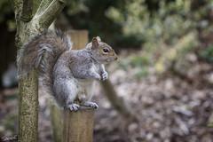 Squirrel - Castle Park Colchester (sparkeyb) Tags: cute fauna rodent nikon squirrel wildlife 85mm fullframe fx essex colchester pest interloper castlepark timid greysquirrel d610 colchestercastle f18d 85mmf18d