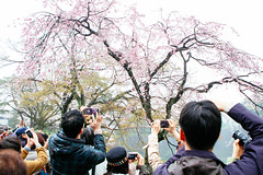 Visit of the General Public to the Inui Street in the Imperial Palace 2016 (Dick Thomas Johnson) Tags: japan tokyo spring plum  apricot  imperialpalace ume hanami plumblossom     chiyoda flowerviewing    tokyoimperialpalace hanamiparty  viewcherry hanamicelebration hanamiparties  inuistreet