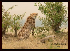 FEMALE CHEETAH WITH HER CUBS (Acinonyx jubatus).....MASAI MARA....SEPT 2015. (M Z Malik) Tags: africa nikon kenya wildlife ngc safari cheetah kws masaimara cheetahfamily flickrbigcats exoticafricancats d800e exoticafricanwildlife 400mmf28gedvr