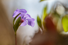 Vinca (Kinga Wroblewska) Tags: flower nature forest spring wildflower vinca barwinek