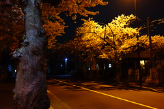Midnight YO-zakura () Tags: zeiss cherry t sony blossoms cybershot carl midnight sakura yozakura variosonnar f1849 dscrx100 104371mm