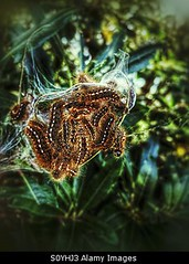 Photo accepted by Stockimo (vanya.bovajo) Tags: baby tree nature animal fauna butterfly insect dangerous natural nest web moth young silk insects tent caterpillar newborn caterpillars needles crawling pupa larvae processional cocoon hatching iphone larve pupas wildwife iphonegraphy stockimo