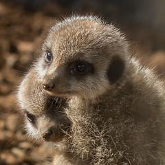 Meerkat Kittens (Sara@Shotley) Tags: baby zoo meerkat hug little young chester cuddle