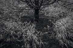 Around the Tree (Revisited) (JeffStewartPhotos) Tags: park blackandwhite bw toronto ontario canada tree grass blackwhite photowalk harbourfront grasses toned metasequoia parkland canadasquare dawnredwood walkingwithdavidw