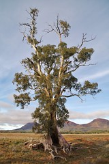 Cazneaux Tree | Wilpena (Daniel Tindale) Tags: park morning winter red tree heritage history abandoned rural river gum way landscape countryside highway poetry poem pentax native spirit decay farm daniel south country farming rustic australian ruin harold australia farmland national ranges poet thom adelaide outback lonely sa sullivan pastoral endurance gumtree southaustralia derelict pound cloudscape flinders decayed b83 bugle wistow wilpena cazneaux flinderranges tindale k20d bugleranges danieltindale thomsullivan