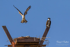 Male Osprey tosses grass toward its nest - Sequence - 15 of 19