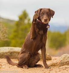 Go, R, Go (KB RRR) Tags: dog colorado rockymountains frontrange chocolatelabrador shyla