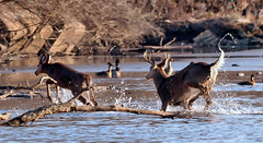 Hurried River Crossing (Vidterry) Tags: deer rivercrossing whitetaileddeer