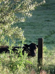 I'm Watching You! (jchants) Tags: green fence cow pasture hff sanjuanbautistaca ~~fencefriday~~ fencedfriday 116in2016 86fourleggedfriend