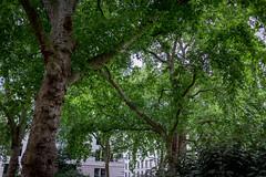 Open Garden Squares 2015 - 1844.jpg (DavidRBadger) Tags: city london greenspace planetree 2015 cityofwestminster londonplanetree urbansquare opengardensquares thetravellersclub carltonhouseterracegarden