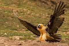 Quebra-ossos, Bearded vulture (Gypaetus barbatus) (xanirish) Tags: lammergeier beardedvulture gypaetusbarbatus quebraossos beardedvulturegypaetusbarbatusemliberdadewildlifenunoxavierlopesmoreira