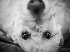 dexderp ((robcee)) Tags: xmas dog monochrome nose blackwhite moncton goof dexter geolocation 2013 geocity exif:isospeed=800 geocountry camera:make=olympusimagingcorp geostate exif:make=olympusimagingcorp camera:model=em5 exif:model=em5
