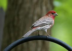 Good ol' house finch (meg.k.photos) Tags: bird birds finch housevince