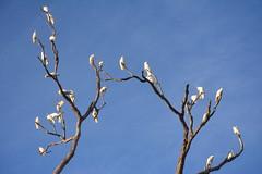 Sulphur-crested Cockatoo tree (Luke6876) Tags: tree bird animal wildlife parrot cockatoo sulphurcrestedcockatoo australianwildlife