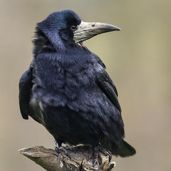 Rook ~ Explored (Margaret S.S) Tags: rook corvid