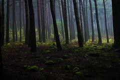 (RicardoPestana2012) Tags: fog pine forest dark madeira tress madeiraisland