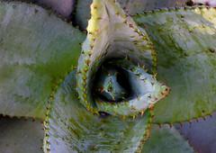 Cacti II (Photato Jonez) Tags: cactus plant alex nature cacti garden botanical dc washington nikon day outdoor botany throns d3300