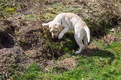 AP16-9581 Buddy exploring the world (Jan-Willem Adams) Tags: dog netherlands puppy labrador nederland buddy gelderland garderen honden fordjw janwillemadams adamsphotography
