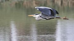 Hron (Dakysto94) Tags: bird heron animal vol oiseau hron ardid