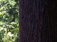 Eco (renata.mandracio) Tags: parque brazil detail tree verde green folhas sc nature leaves brasil pine ecoparque landscape outside countryside ar details natureza sheets steam sp bark trunk santacatarina arvore arvores folha tronco eco livre minimalist detalhe marrom detalhes brow casca pinheiros pinheiro pinus suber caule chapec