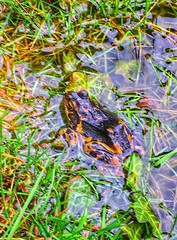 107/366. Springing back. (dazmo862) Tags: green wet water grass yellow swimming spring pond frog spawn visitor