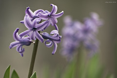Hyacinthus (oskaybatur) Tags: flower closeup turkey spring dof pentax bokeh trkiye april nisan bolu hyacinthus iek 2016 turkei ricah justpentax pentaxda55300mmf458ed pentaxart morsmbl pentaxk3 oskaybatur
