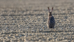 Hare (R - P Photography) Tags: nature animal animals switzerland hare suisse outdoor wildlife terre fribourg animaux extrieur lapin champ vaud faune broye livre canoneos7dmarkii canonef500mmf4isii