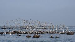 terns, terns, terns ~a (PicturesWild) Tags: sea coast westcoast tern atlanticocean arcticterns jacobsbaai sternaparadisaea pictureswild sterretjie arktiesesterretjie