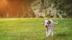 Sirius with Ball (Bea Burin-Herbst | Fotografie) Tags: dog puppy spring outdoor wiese 85mm hund sirius dalmatian frhling welpe rde dalmatiner