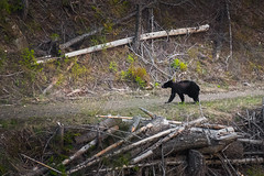 Scraggly Young Black Bear (Stephen Tamm) Tags: bear wildlife idaho blackbear