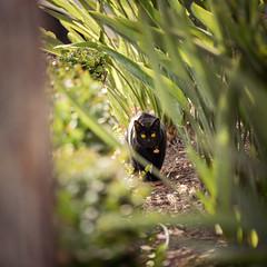 Hunting (federicophotography) Tags: nature animal cat mammal photography nikon feline sp di d750 tamron vc 70200 f28 federico usd federicophotography