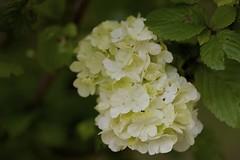 Viburnum plicatum var. plicatum f. plicatum (Jim Mayes) Tags: macro digital canon eos tamron 90mm tamronspaf90mmf28dimacro