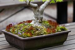 20160413-30-Bonsai at Kyoto Botanic Gardens (Roger T Wong) Tags: travel trees holiday japan kyoto bonsai botanicgardens 2016 canonef70200mmf4lisusm canon70200f4lis canoneos6d rogettwong