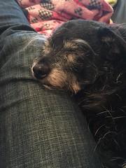 My little puppy lover (Lucyrk in LA) Tags: dog pet cute love dogs animal mutt sleep blackdog sleepy desi lover mixedbreed animalplanet inlove iphone trusting dogoftheday seniordog heartexploding