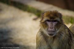 Roadtrip 28 & 29-04-'16 (Mike van Houwelingen - DiverseMediaNL) Tags: holland netherlands dutch zoo monkey media diverse bokeh nederland roadtrip monkeys aap rhenen ouwehands dierentuin dierenpark apen nederlandse aapjes ouwehand bokehlicious diversemedia diversemedianl rt28290416
