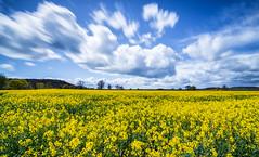 Fields Of Gold (osims1990) Tags: yellow nikon tokina rapeseed 1116 d7200